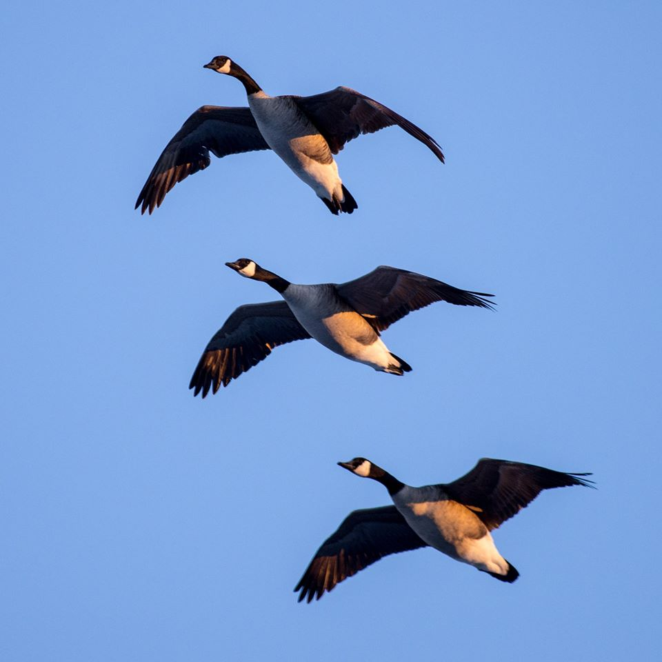 Canada-Geese