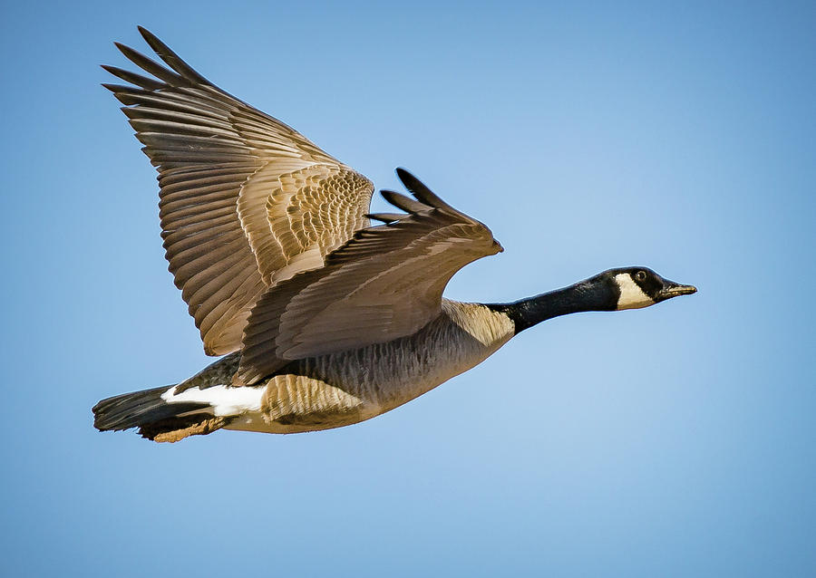 wild-goose-in-flight-andy-lay